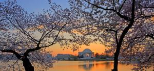 Cherry Blossoms at Sunrise - April 2012